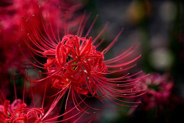 Thơ về hoa bỉ ngạn - Những bài thơ gợi sự chia ly, đau đớn đến xé lòng