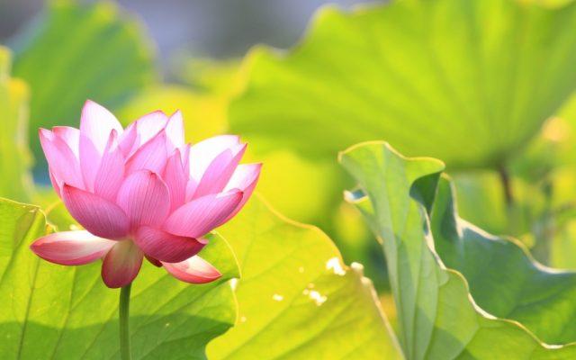 Chùm thơ về hoa sen hay, ý nghĩa với ngôn từ được chọn lọc