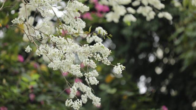 Bài thơ Hà Nội mùa hoa sưa