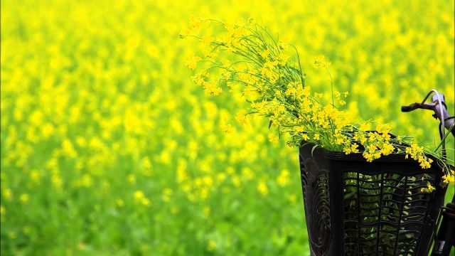 Bài thơ Mùa hoa cải ven sông