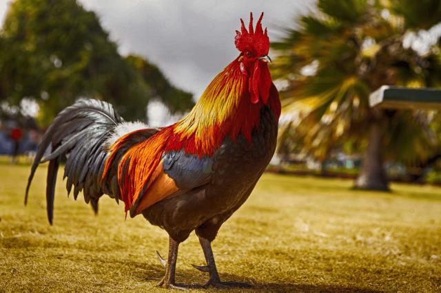 Bài thơ Xin được làm gà