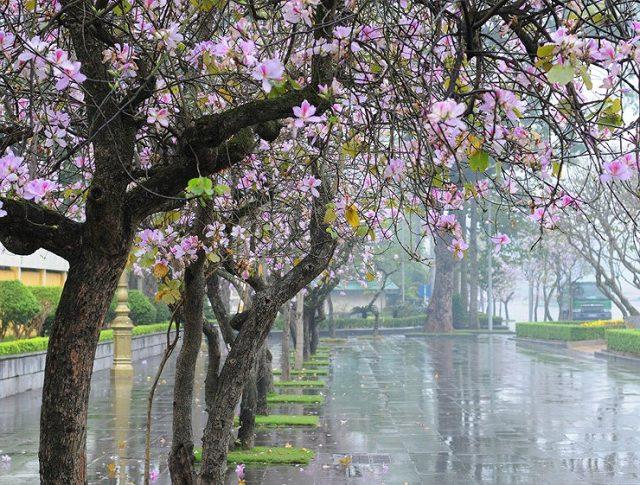 Bài thơ Hoa ban Hà Nội